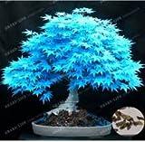 Baumsamen 20 Ahornsamen Bonsai blau Pflanzen Samen Balkon Ahorn Japanischer Ahorn-Baum für Mix Hausgarten