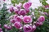 Kletterrose 'Jasmina' -R- ADR-Rose, A-Qualität Wurzelware