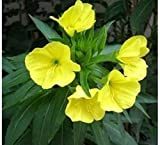 nulala Nachtkerzen Samen Balkon Gartenarbeit Garten Dekoration Bonsai Blumensamen