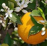 Lavita Orange, kaltgepreßt 100ml - 100% naturreines ätherisches Öl