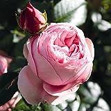 Kletterrose Giardina in Rosa - Kletter-Rose Nostalgie winterhart & duftend - Pflanze für Rankhilfe im 5 Liter Container von Garten Schlüter - Pflanzen in Top Qualität