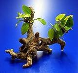 Goldenes Speerblatt-Urwaldbaum mit Höhle / Regenwaldbaum mit Anubia nana GOLD (yellow heart)