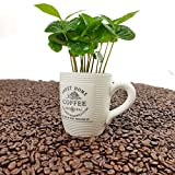 Kaffee Pflanze mit Tasse  1 Stück - A1 Qualität  MPS kontrolliert