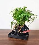 BALDUR-Garten Lova Farn'Davallia';1 Pflanze