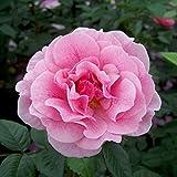 "Kölle's Beste Kletterrose ""Camelot"" - rosa blühende, duftende ADR-Topfrose im 6 L Topf - frisch aus der Gärtnerei - Pflanzen-Kölle Gartenrose"