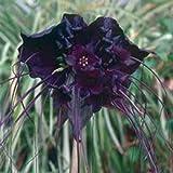 Portal Cool 5 Black Bat Blume Fledermausblume Katze Whiskers Teufel Blumensamen * Kämme/H