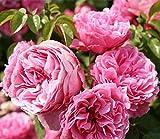 Kletterrosen, 100 Stück, bunte Rosen, Pflanzen für Garten, Haus, Balkon, Zäune, Dekoration, Pflanzen Blumen - Pink Da Vinci Rose Seeds