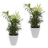 Dominik Blumen und Pflanzen, Zimmerpflanzen Zimmerpalmen-Duo - 2 Chamedorea - mit weißem Dekotopf, ca. 20 - 30 cm hoch