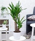 BALDUR-Garten Yucca Palme ca. 70 cm hoch, 1 Pflanze Zimmerpalme Palmlilie