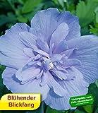 BALDUR-GartenGefüllter Hibiskus Chiffon blau 1 Pflanze Hibiscus syriacus winterhart