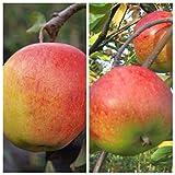 Duo Apfelbaum, 2 Sorten Apfel Rebella und Topaz, 9,5 Liter Topf, Veredelungsunterlage MM 111