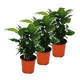 Kaffee Pflanze (Coffea arabica) 3 Pflanzen - Zimmerpflanze