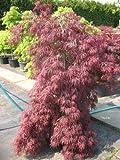 roter japanischer Schlitzahorn Acer palmatum Dissectum Garnet 60 - 80 cm breit im 10 Liter Pflanzcontainer