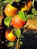 Dominik Blumen und Pflanzen, Apfel Roter Boskoop, Busch, 1 Pflanze
