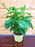 Kaffee Pflanze Coffea arabica 2stk./ Pflanze