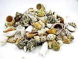 Muschelmix ca. 500g | Deko Muscheln und Schnecken | die maritime Dekoration für Vasen, Schalen oder als Streudeko | tropiesche echte Meeres-Muscheln aus der ganzen Welt | für Bad ode Heim | für alle Meeres und Insel-Fans - das Original nur von osters muschel-sammler-shop
