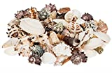 NaDeco Muschelmix large 1kg | Bastelmuscheln | Dekomuscheln | Deko Muschel | Deko Schnecken | maritime Dekoration
