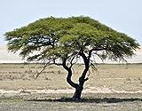 Seedeo Schirmakazie (Acacia tortilis) 20 Samen
