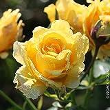Kletterrose 'Sommergold (Premium) - Leuchtend goldgelb blühende Topfrose im 6 L Topf - frisch aus der Gärtnerei - Pflanzen-Kölle Gartenrose