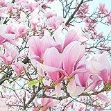ZIXI Gartensaaten - 20 Stück Großblütige Magnolie, Magnolia grandiflora Blume Baum Rosa duftenden Tulpe Magnol Liliiflora-Samen (A)