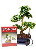 Bonsai-Geschenkset Anfänger-Set Liguster zimmertauglich immergrün vier-teilig ca. 9 Jahre alt, ca. 30 - 35 cm hoch
