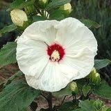 lichtnelke - Riesen-Hibiskus (Hibiscus moscheutos) Old Yella