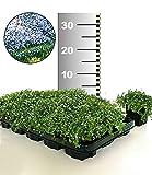 BALDUR-Garten Winterhart Isotoma 'Blue Foot' 50 Stk. trittfester Bodendecker, Rasen-Ersatz
