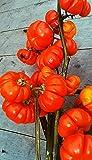 10 Samen Äthiopische Eierfrucht, Solanum aethiopicum, Pumpkin on a stick