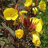 lichtnelke - Strauchige Nachtkerze (Oenothera fruticosa) Fyrverkeri