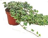 Hedera helix 'White Wonder'- Efeu - echte Pflanze im 13 cm Topf als Hängepflanze, Bodendecker oder Zimmerpflanze