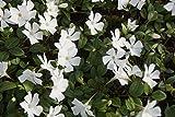 10 x Vinca minor Alba (Weiss) Kleines Immergrün (Bodendecker) ab 1,19 € pro Stück