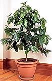 Strauch Samen Kaffeestrauch-Arabien (Coffea arabica) Perennial Raum Pflanze