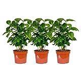 3 Pflanzen Coffea arabica im Angebot, circa 30 cm +/- Kaffeepflanze, Kaffee selbst anbauen, für Kaffeetrinker und Kaffeeliebhaber, pflegeleicht - daher super geeignet als Geschenk oder Spaß im Büro oder zu Hause, für Anfänger, Kaffeebohnen, eigener Kaffee Set