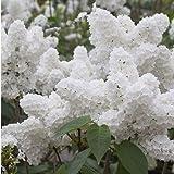 Pinkdose 100pcs Weiß Japanischer Flieder Pflanze leicht wachsen (Extremely Fragrant) Nelke Blume Bonsais für den Garten zu Hause * Organisches