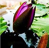 100 Stück / Pack-Felsen-Kresse, Aubrieta Cascade Lila Blumensamen, Superb ausdauernde Bodendecker für Hausgarten