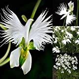 100 Stück Reiher Orchidee Samen für Anfänger geeignet Garten Kräuter-Samen Gartendeko Zuhause Dekoration Reiher Orchidee Samen