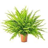 AIRY Schwertfarn Zimmerpflanze, Nephrolepis exaltata (17 cm Topf). Natürlicher Luftreiniger verbessert das Raumklima. Passend zum AIRY Blumentopf