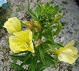 Asklepios-seeds - 5000 Samen Gemeine Nachtkerze Oenothera biennis, Duftpflanze Heilpflanze
