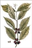 Posterlounge Alu Dibond 120 x 180 cm: Kaffeepflanze von Elizabeth Blackwell/Granger Collection