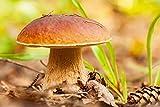 Sommer-Steinpilz–Myzel–Pilze Forest–Grow Your Own Pilze.