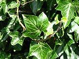 Gemeiner Efeu - Hedera helix - Kletterpflanze Bodendecker - 15-25cm Topf Ø 11cm (10)