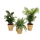 Dominik Blumen und Pflanzen, 890906 Indoor-Trio, Kaffee-Pflanze, Grünlilie und Zimmerpalme jeweils mit Dekotöpfen, terrakottafarben