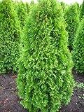 Smaragd Lebensbaum Thuja occidentalis Smaragd 125-150 cm hoch im 11 Liter Pflanzcontainer