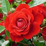 Kletterrose 'Badener Sommergru' - rot blühende, duftende Topfrose im 6 L Topf - frisch aus der Gärtnerei - Pflanzen-Kölle Gartenrose
