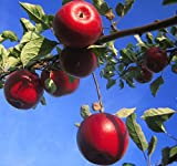 Apfelbaum Roter Jonathan Winterapfel Lagersorte Halbstamm 170-200 cm 10 L Topf Unterlage M7