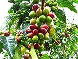 Portal Cool Haus Pflanze Coffea Arabica Nana Kaffeepflanze Wachsen Sie Ihre Selbst Kaffee !! frische Samen