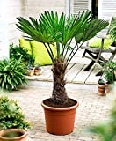 Seltene Trachycarpus Wagnerianus Hanfpalme bis 100 cm Höhe Frosthart bis -19 Grad