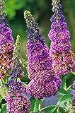 Sommer-Flieder 'Flower Power' (Buddleja Davidii) - Mehrfarbiger Schmetterlingsflieder von Garten Schlüter