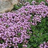 2000 Samen Purple Thymian, Sandthymian –Thymus serpyllum, idealer Bodendecker