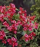 Weigelie Bristol Ruby rot blühend. 1 Strauch. 2L Topf - zu dem Artikel bekommen Sie gratis ein Paar Handschuhe für die Gartenarbeit dazu
